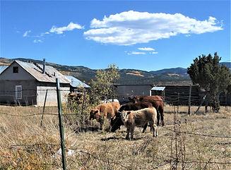 Cow Family - Las Truchas, NM.JPG
