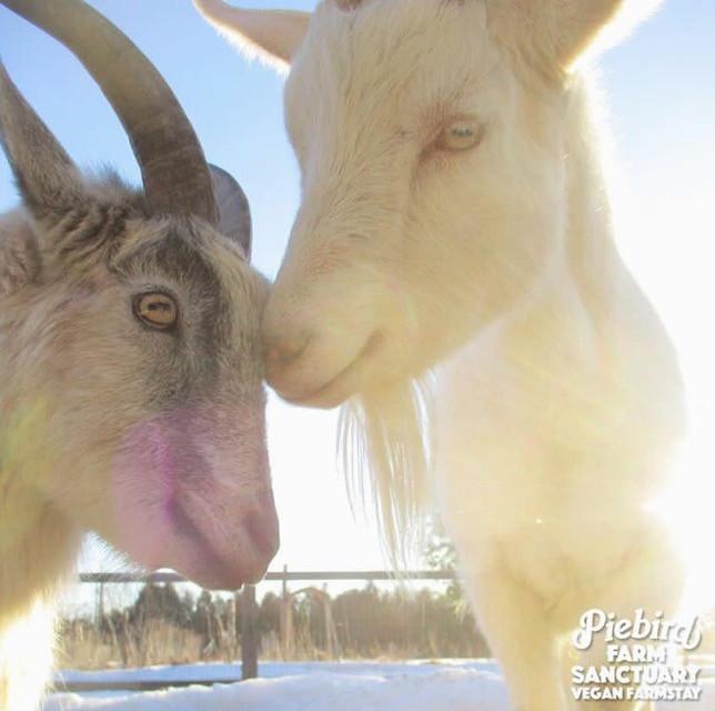 Piebird Farm Sanctuary and Vegan Farmstay