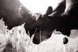 Farm Sanctuary - Jo-Anne McArthur
