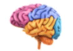 corteza-cerebral0.jpg