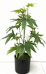 bidk faux weed plant.png