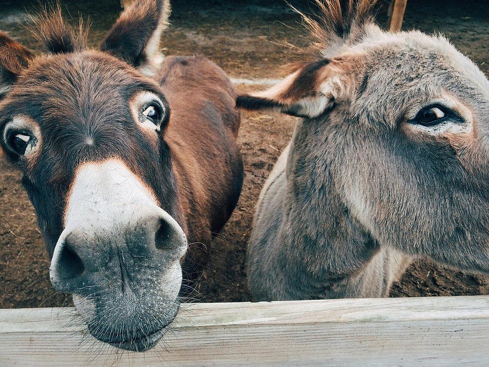 pixabay_esel_donkey-1725230_FOTOWokandap