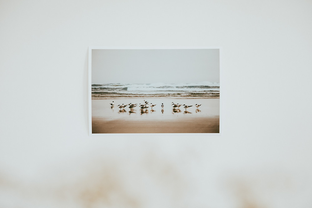 A group of Crested Terns standing at the tideline, Smokey Cape, NSW.