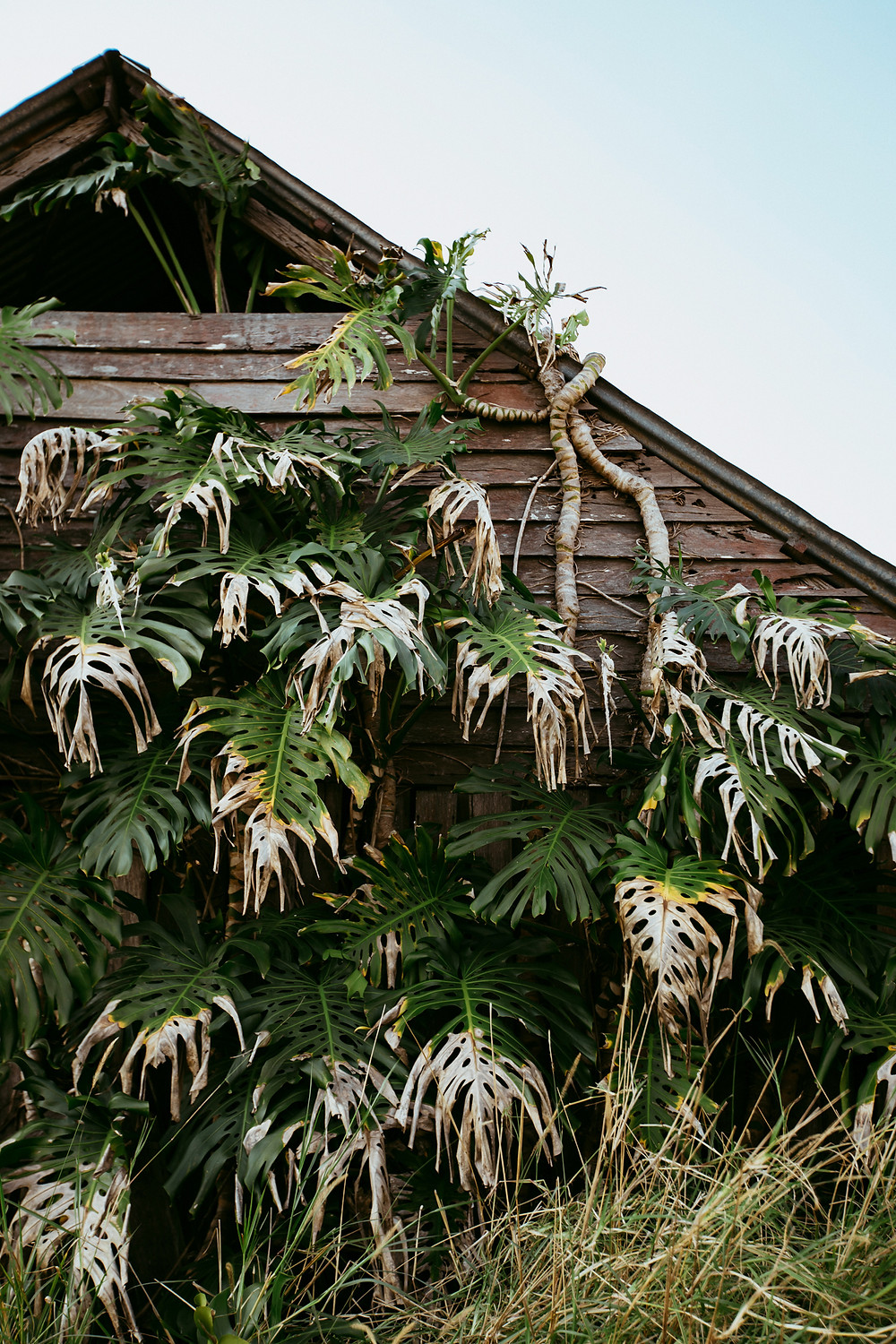 A large monstera plant is taking over what remains of a shed somewhere in NSW.