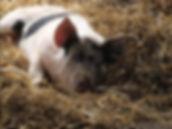Buy Vogel Pork Now