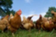 Buy Vogel Chicken Now