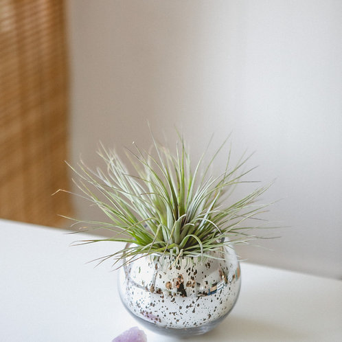 Take Me to the Disco | Amethyst Crystal | Air Plant
