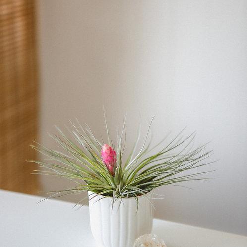 Flower Power | Clear Quartz Crystal | Air Plant