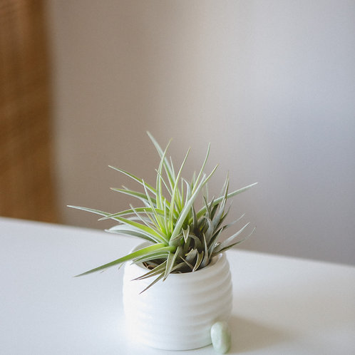 Peace Out | Jade Crystal | Air Plant