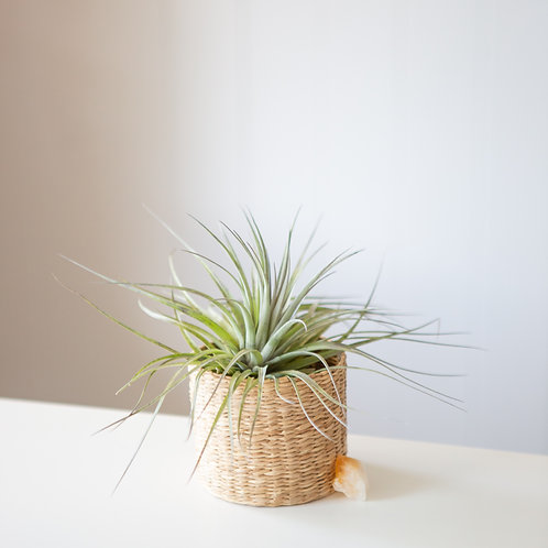 Baskin' in Happiness | Citrine Crystal | Air Plant