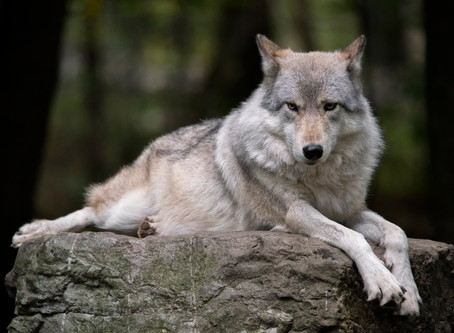 In Columbia New Jersey, Wolves Continue Too Howl