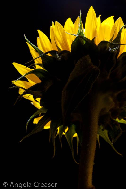 Sunflower Torch