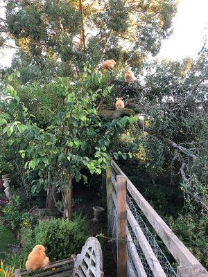 Tree Climbing Hens
