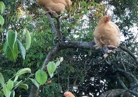 Chickies eating Damsons