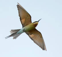 Blue.Tail.BeeEater.3Sep2012.jpg