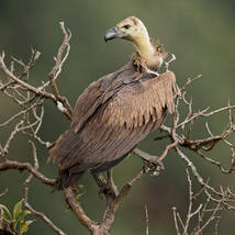 Vulture.Juvenile.Unknown.12Nov2015.jpg