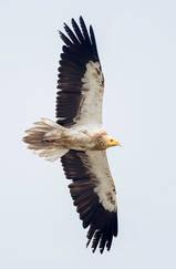 Vulture.Egyptian.30Oct2013q.jpg