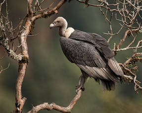 Vulture.WhiteRump.adult.12Nov2015v.jpg