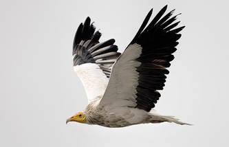 Vulture.Egyptian.subadult.10Dec2015h.jpg