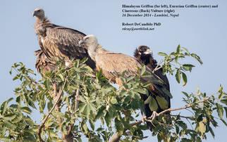 Vultures.16Dec2014c.jpg