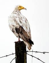 Vulture.Egyptian.SubAd.10Dec2015.jpg