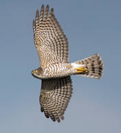 Sparrowhawk.Japanese.Juvenile.13Oct2013d.jpg