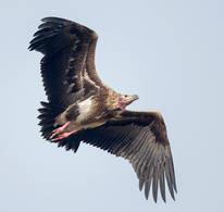 Vulture.RedHeaded.30Oct2013s.jpg