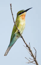 Blue.Tail.BeeEater.Juv.19Oct2012.jpg