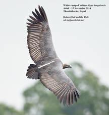 Vulture.WhiteRumped.15Nov2014c.jpg