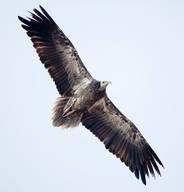 Vulture.Egyptian.juvenile.1Dec2012b.jpg
