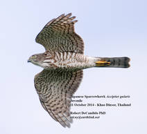 Sparrowhawk.Japanese.Juvenile.13Oct2013b.jpg