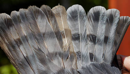 Tail.Japanese.Sparrowhawk.7Sep2013.jpg