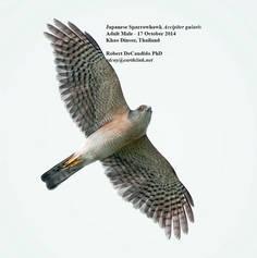 Sparrowhawk.Japanese.male.17Oct2014.jpg