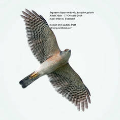 Sparrowhawk.Japanese.male.17Oct2014.jpg