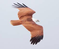 Kite.Brahminy.Adult.22Sept2011.jpg