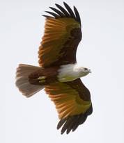 Kite.Brahminy.25August2012b.jpg