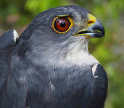 Sparrowhawk.Jap.male.adult.head.20Sep2012.jpg