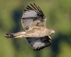 Eagle.Bonelli.11Nov2013M.jpg