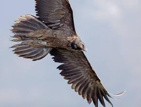 Vulture.Bearded.Juv.8Nov2016b.jpg