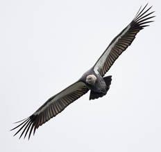 Vulture.WhiteRumped.11Nov2016c.jpg