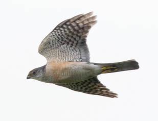 Sparrowhawk.Japanese.male.12Sep2014.jpg