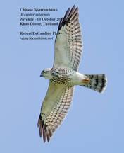 Sparrowhawk.Chinese.Juvenile.10Oct2014.jpg
