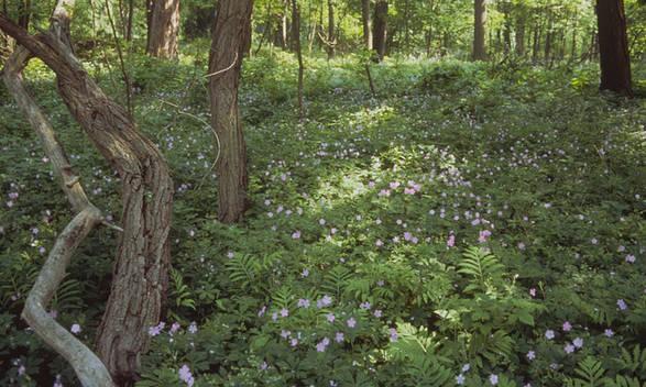 PBPK.HunterIsland.Geraniums.jpg