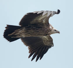 Vulture.Himalayan.subadult.3Dec2015.jpg