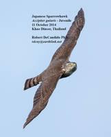 Sparrowhawk.Japanese.Juvenile.13Oct2013.jpg