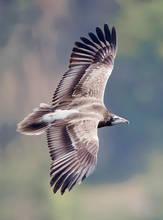 Vulture.Egyptian.juvenile.top.1Dec2012.jpg