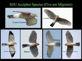 Accipiters.Six.2013.jpg