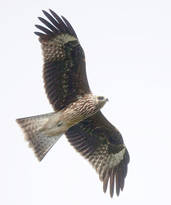 Kite.Black.lineatus.23Sept2012.jpg