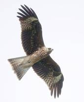 Kite.Black.lineatus.23Sept2012.jpg