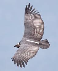 Vulture.WhiteRumped.rump.11Nov2016.jpg